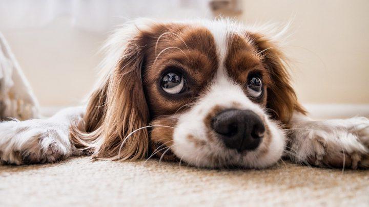 Pielęgnacja psich oczu