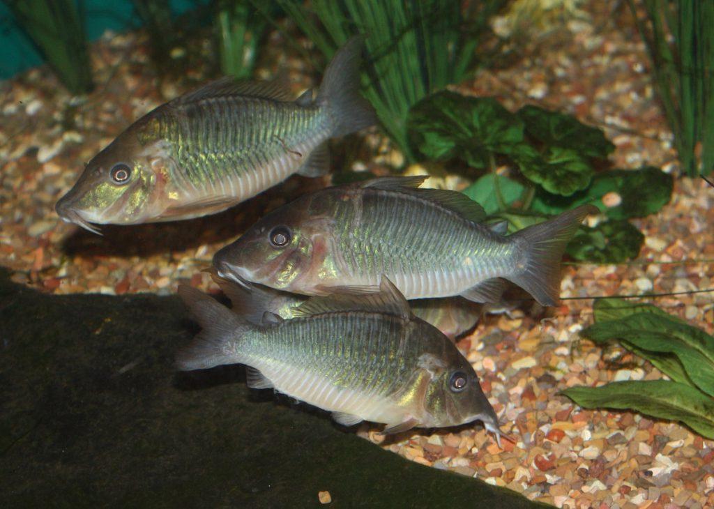 Ryby kiryskowate