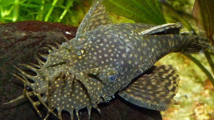 Ryby zbrojnikowate