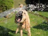 Układ odpornościowy psa