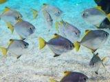 Zachowanie stadne ryb
