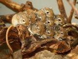 Myszoskoczek mongolski