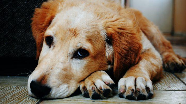 Pasożyty u psa