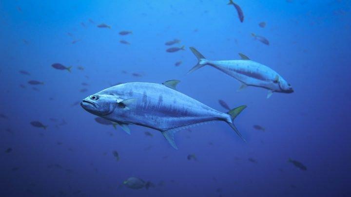 Jak tuńczyk utrzymuje wyższą temperaturę od wody?
