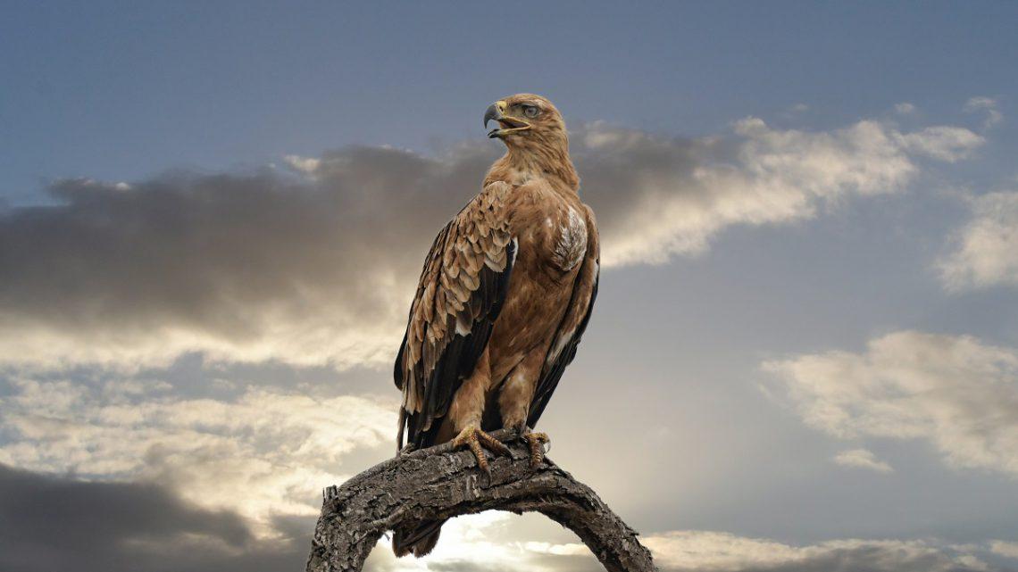 Najszybszy ptak - Sokół wędrowny