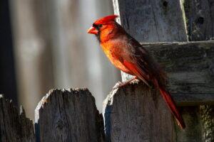 Opieka nad kardynałem szkarłatnym