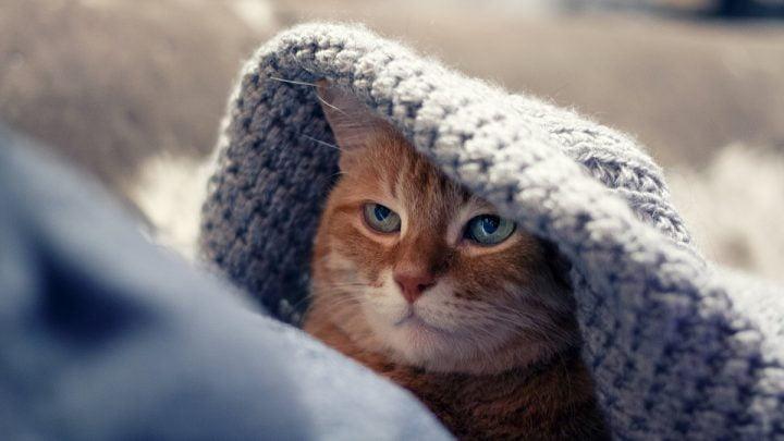 Układ odpornościowy kota