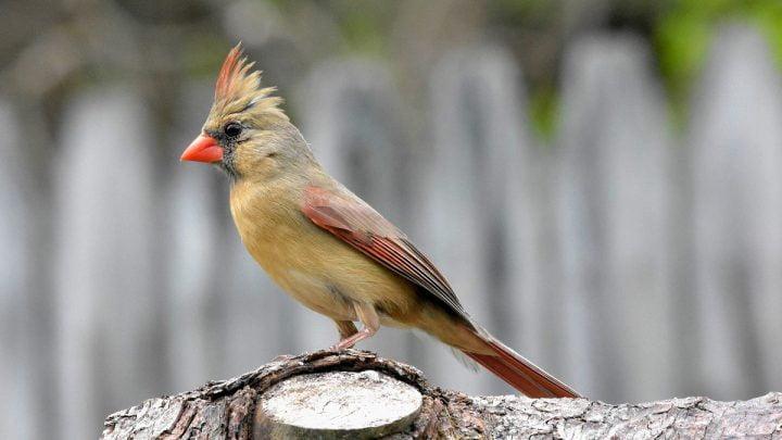 Żywienie i zdrowie kardynała szkarłatnego
