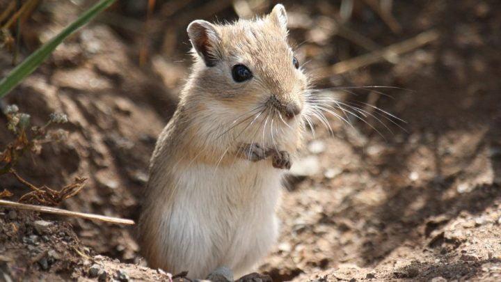 Żywienie i zdrowie myszoskoczka mongolskiego