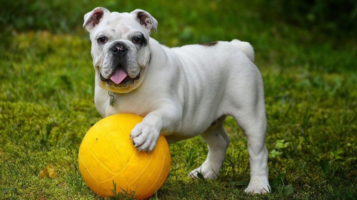 ABC zdrowego psa