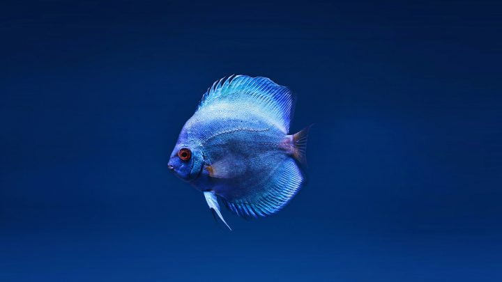 Choroby bakteryjne ryb