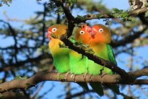Opieka nad papużkami nierozłączkami