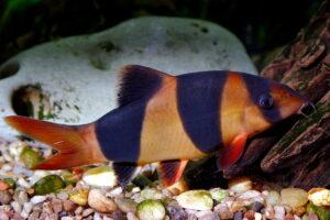 Ryby piskorzowate